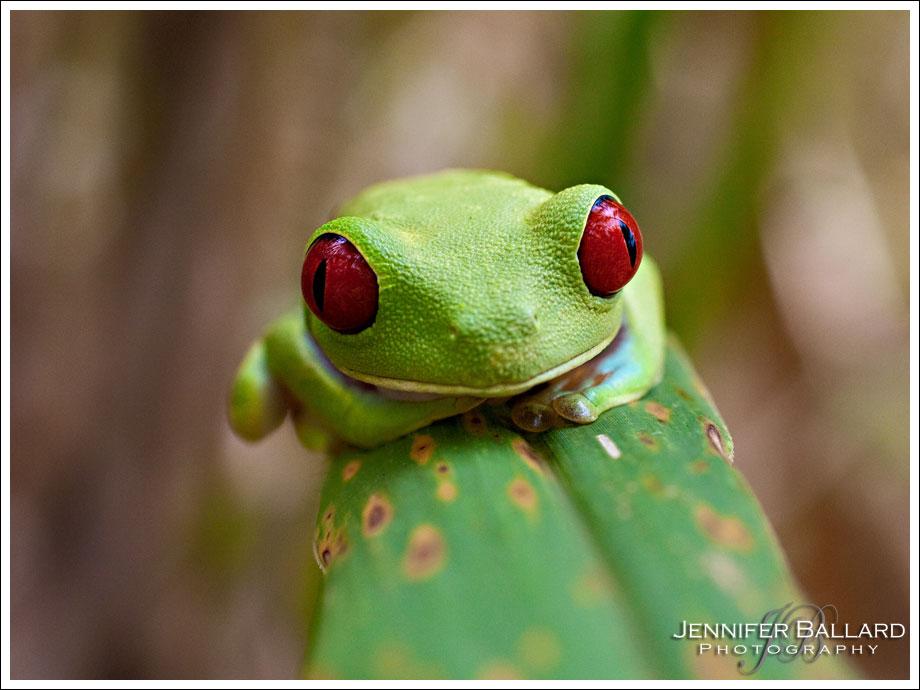 Costa Rica Green Frog