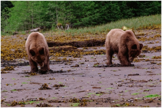 Grizzly Bears of the Khutzeymateen